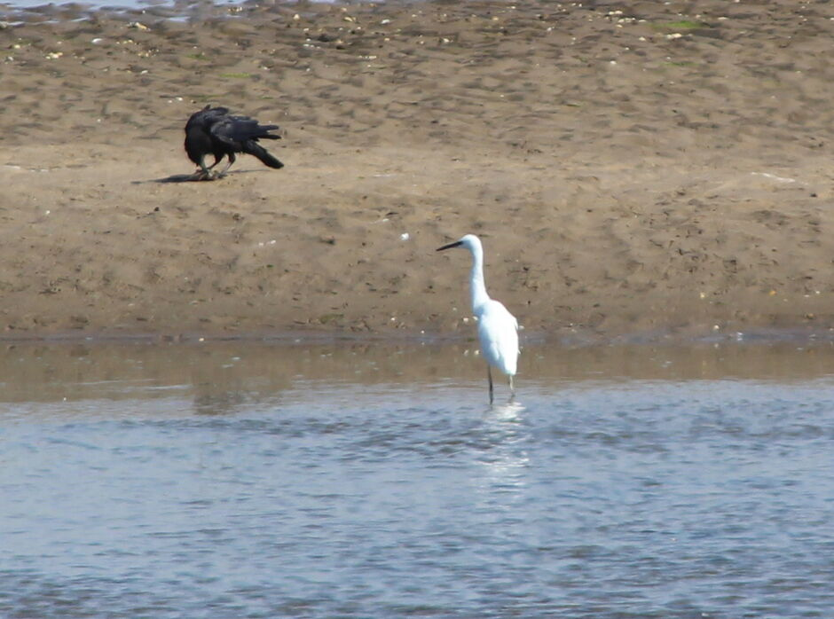 Little Herons are seen inccreasingly often at Kilspindie